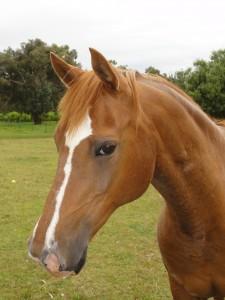 Melbourne Horse